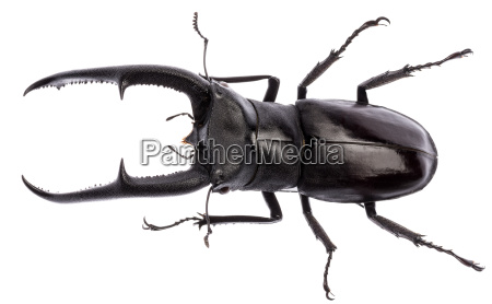 hexarthrius mandibularis stag beetle isolated