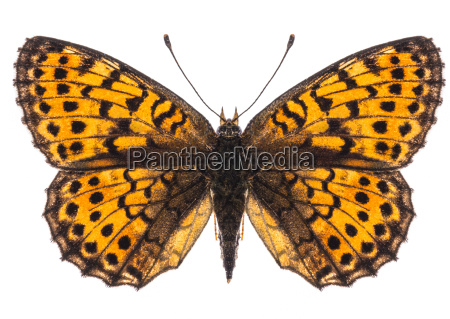 small pearl bordered fritillary butterfly isolated