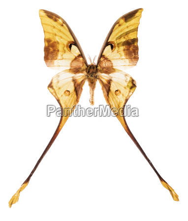 malaysian moon moth isolated on white