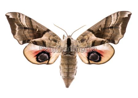 eyed hawk moth isolated on white