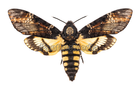 deaths head hawk moth isolated on