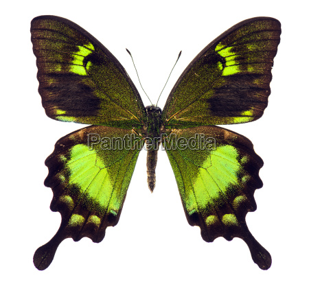 papilio neumoegeni tropical butterfly isolated