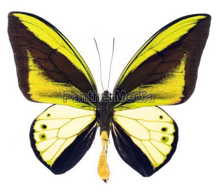 ornithoptera goliath tropical butterfly isolated