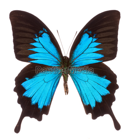 papilio ulysses tropical butterfly isolated