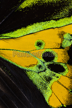 rothschilds birdwing wing macro