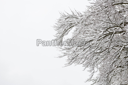 snowy branches against white sky