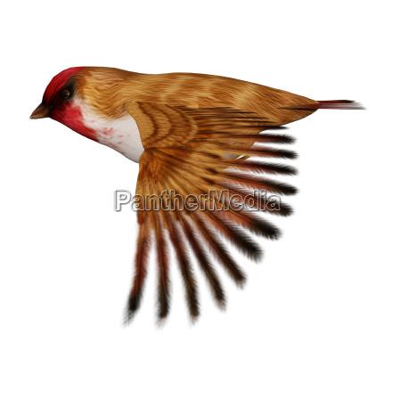 3d rendering scarlet finch on white