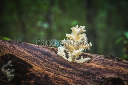 delicious edible white mushroom coral hericium