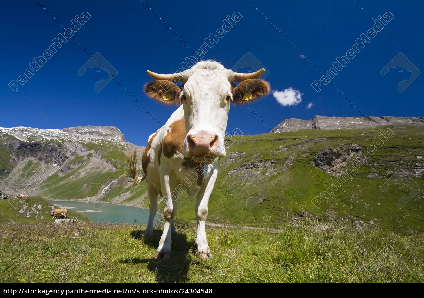 cows, on, a, pasture, on, a - 24304548