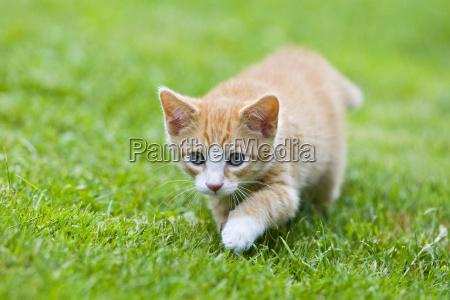 european shorthair cat stalks in a