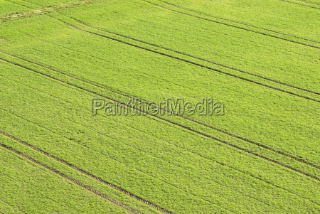 tractor tracks in winter wheat field