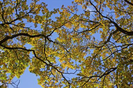 old oak pedunculate oak in