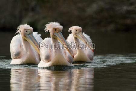 3 white pelicans pelecanus onocrotalus swim