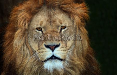 detail animal mammal fauna animals lion