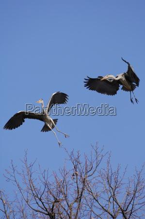 gray heron in flight ardea cinerea