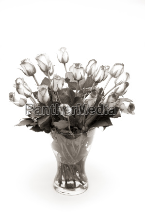 isolated optional flower plant rose flowers