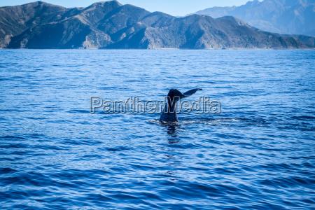 whale in kaikoura bay new zealand