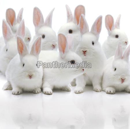 several white rabbits