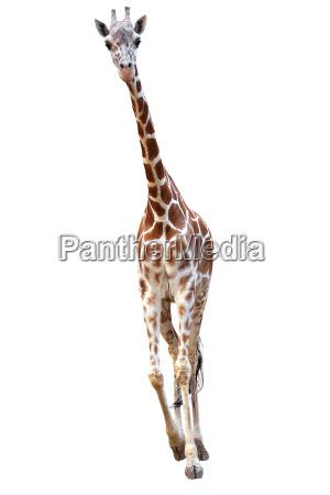 young giraffe isolated