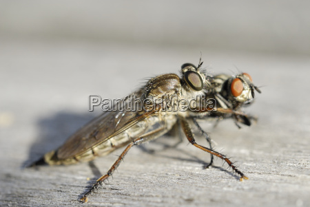 flies animal insect insects fauna animals
