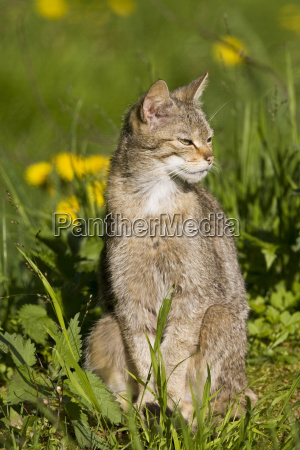 animal mammal fauna animals big cat