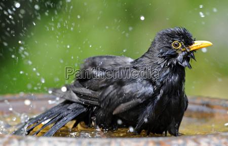 bantam blackbird turdus merula male