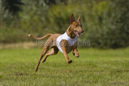 pharaoh hound kelb tal fenek greyhound