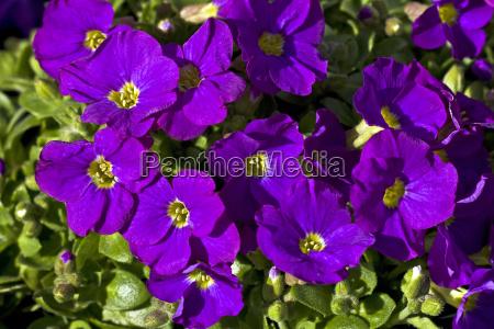 bluhendes blue pillow aubretie aubrieta cultorum