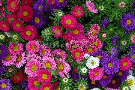 close up background of colorful aster