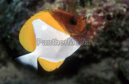 yellow pyramid butterflyfish hemitaurichthys polylepis christmas