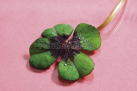 four cloverleaf shamrocks talisman lucky luck