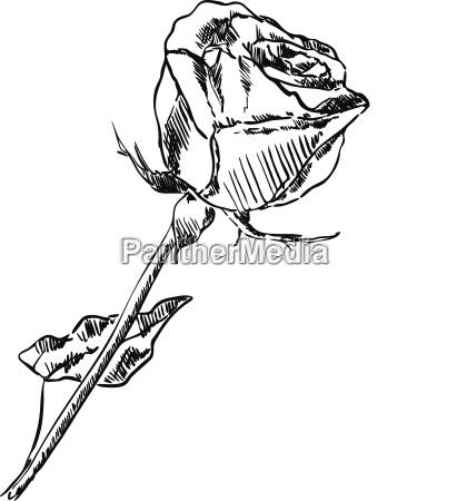 rose isolatwd