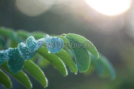Acacia Tree Branch Green Leaves Nature Green Leafs Stock Image