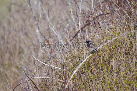 common stonechat saxicola rubicola at hope