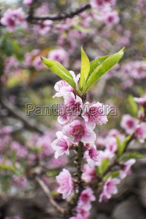 closeup of an almond tree in