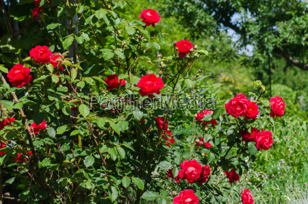 flowering red climbing roses in the