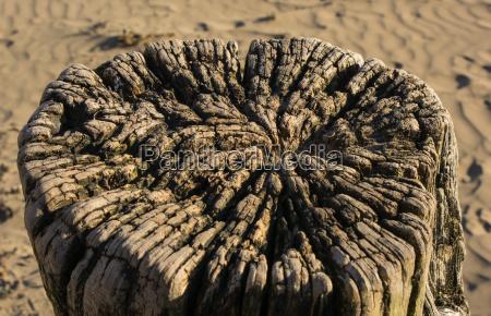 weatherworn tree stump on beach