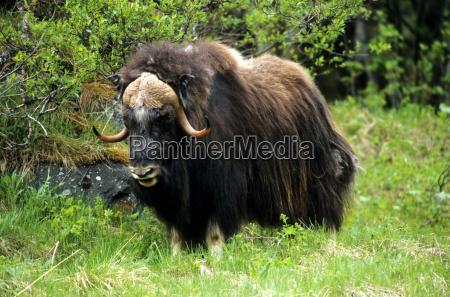 musk ox ovibus moschatus on a