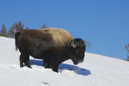 american winter animal mammal fauna national