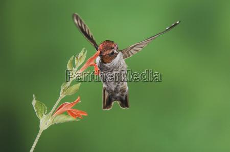 american flies flight animal bird flower