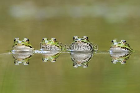 animal amphibian fauna animals mirroring amphibians