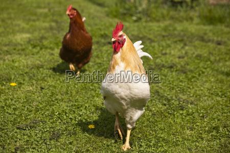 chicken in a meadow