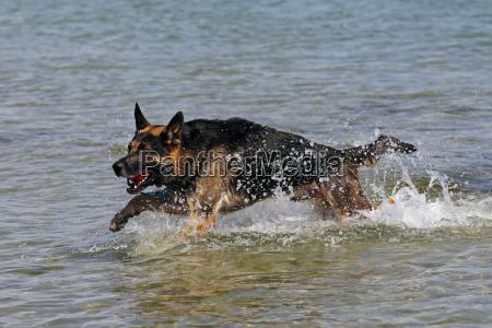 german sheepdog retrieves ball of water