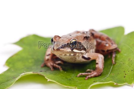 common frog rana temporaria