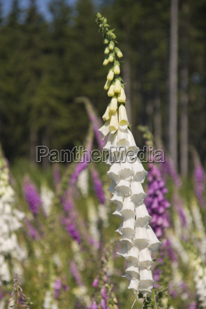 red foxglove digitalis purpurea white and