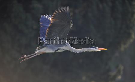 grey herons ardea cinerea in flight