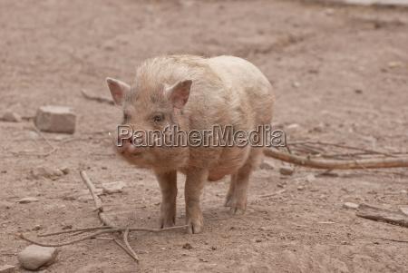 mini pig captive baden wurttemberg germany