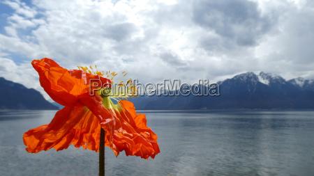 poppy flower on the lake