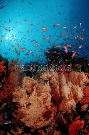coral reef with anthias anthiinae komodo
