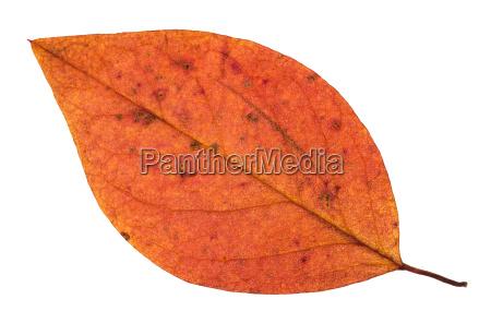 fallen autumn red leaf of apple